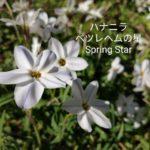 春の星☆ハナニラ