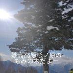 妙高高原杉ノ原のもみの木